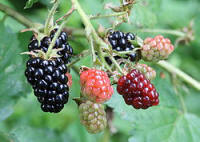 Ripe, ripening and unripe blackberries on a bush