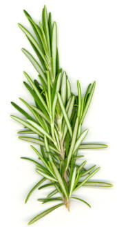File:Rosemary white bg.jpg