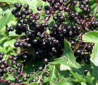 File:Elderberries2007-08-12.JPG