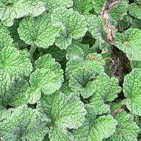 Horehound (Marrubium vulgare)