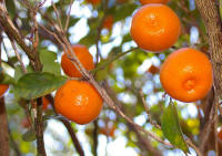 File:Calamondin in our front yard.jpg