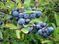 File:Closeup of blackthorn aka sloe aka prunus spinosa sweden 20050924.jpg
