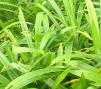 File:Pandan (screwpine) leaves.JPG