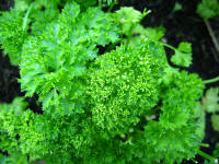 File:Parsley.jpg