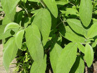 File:Salvia officinalis2.JPG