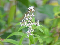 Lemon Verbena (Aloysia citriodora)