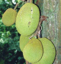 File:Artocarpus heterophyllus fruits at tree.jpg