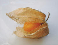 File:Physalis.jpg